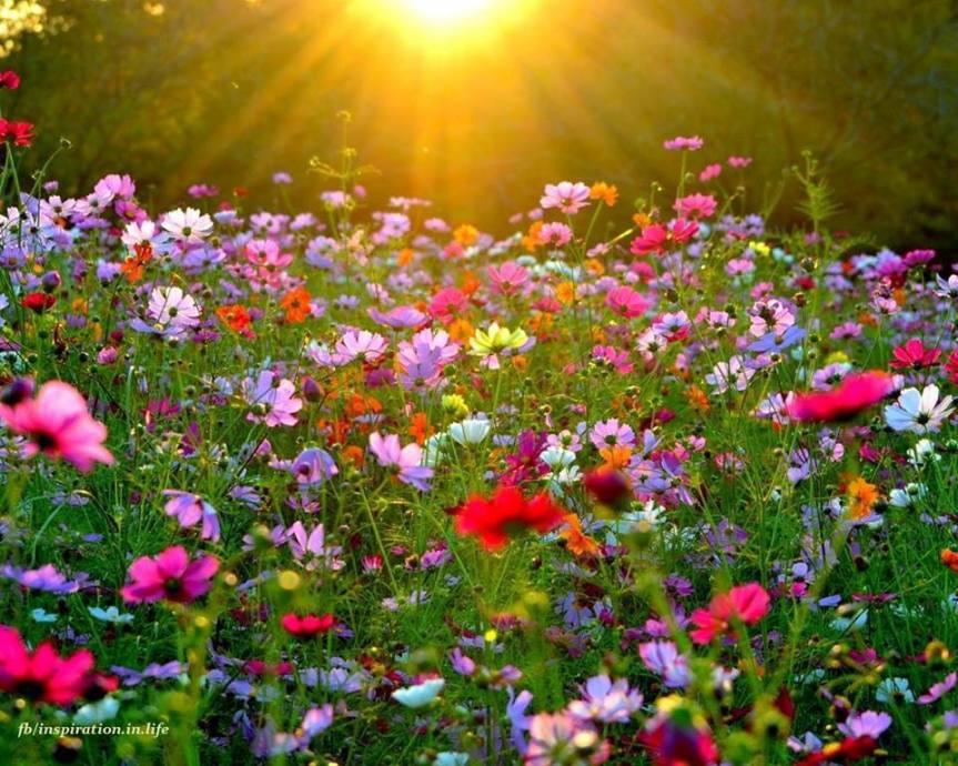 ImAGEMatin champs de fleurs