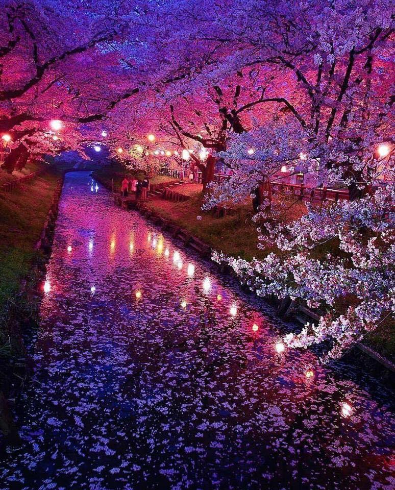 ImAGE japon cerisiers en fleur